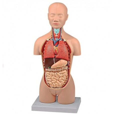 ALTAY SCIENTIFIC MODELLO ANATOMICO MINI TORSO