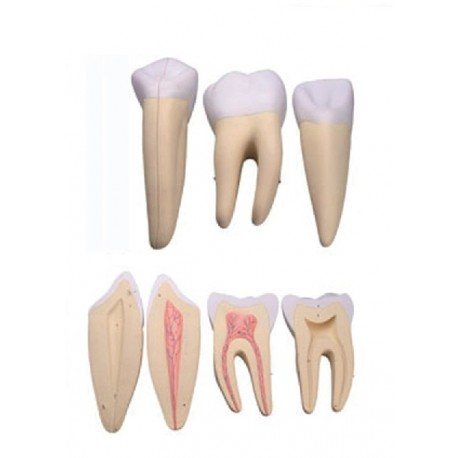 ALTAY SCIENTIFIC MODELLINO ANATOMICO SET 3 DENTI: INCISIVO, CANINO, MOLARE